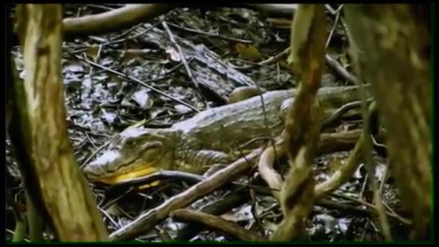 Pantallazos del programa 'The Island', 2016. El caimán no presenta movimientos naturales, parece enfermo o bajo los efectos de una droga.