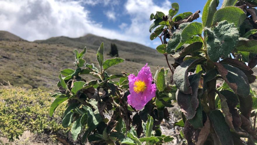 Una planta en flor en la zona  del cortafuego del Reventón a Montaña Mosquera.