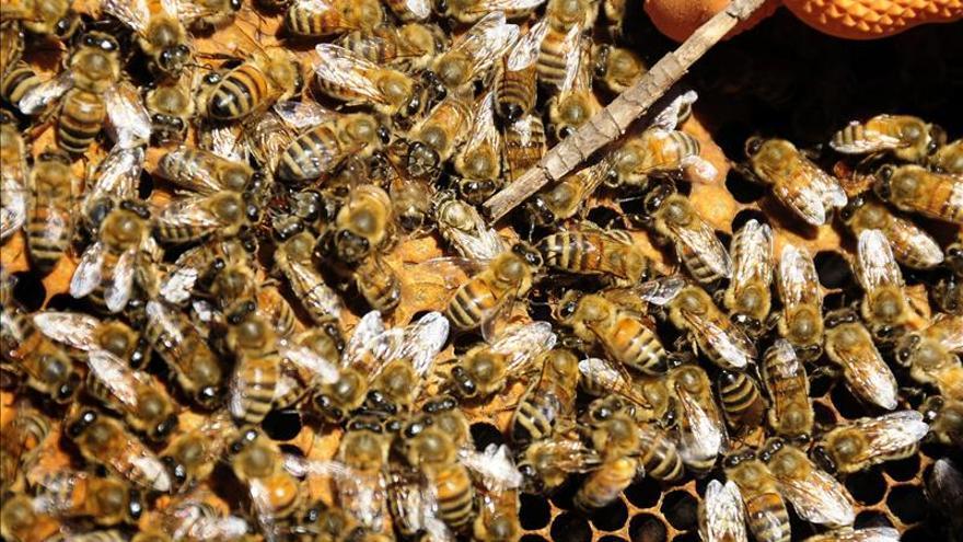 Retiran una colmena de abejas con 60.000 ejemplares de un colegio de Alicante