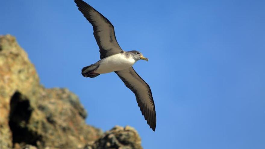Fotografía de una pardela cenicienta sobrevolando la Isla Salvaje Pequeña (Portugal) (EFE/JUAN JOSÉ RAMOS)