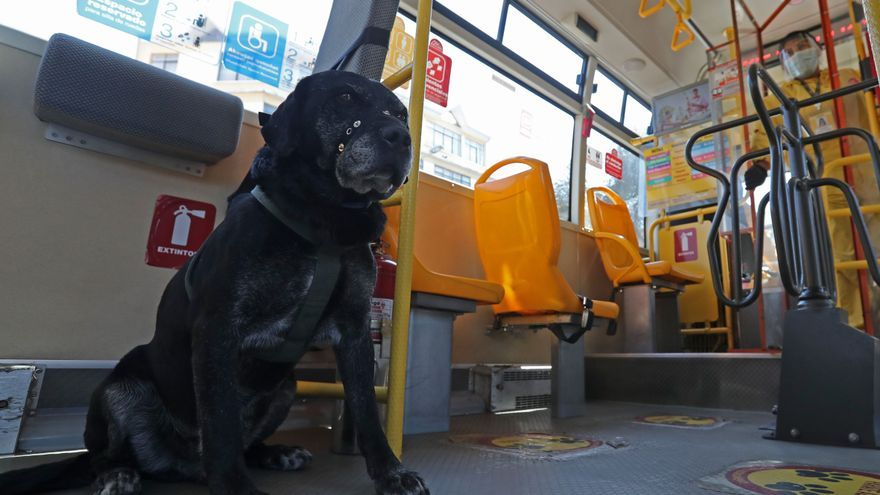 """""""Don Alonso"""", el perro que ama viajar en el transporte municipal de La Paz"""