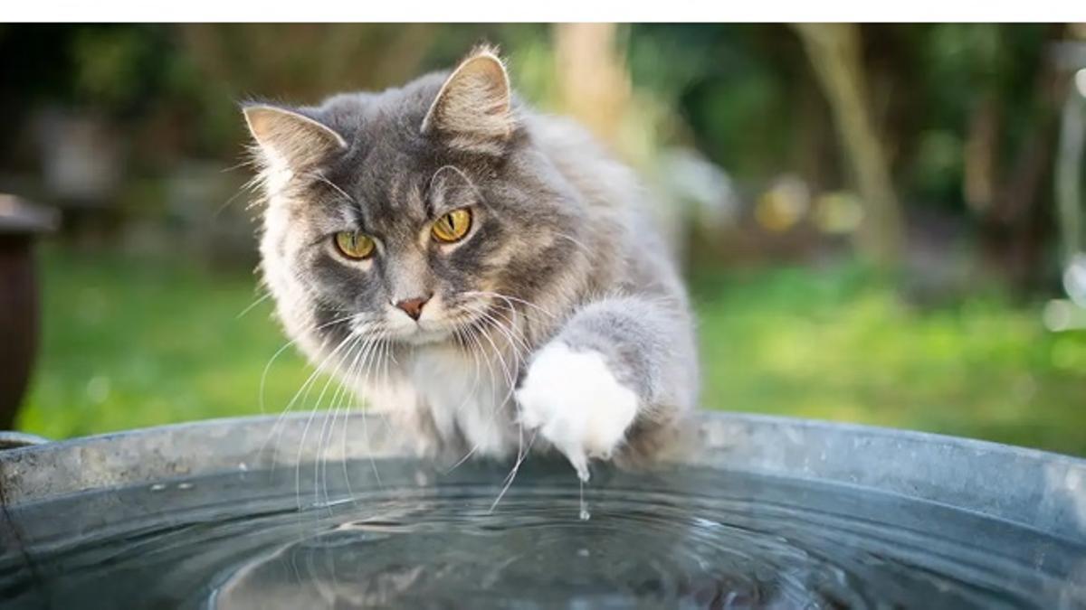 Gato probando jugando con el agua de un barreño