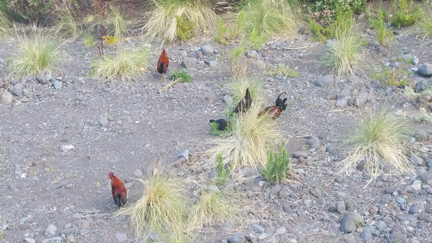 En la imagen, gallos y gallinas en el barranco de Las Nieves. Foto: LUZ RODRÍGUEZ.