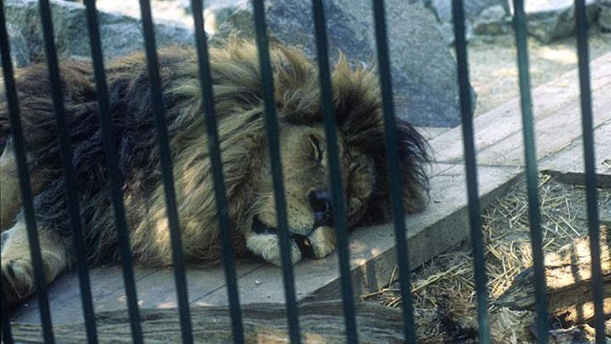 León cautivo en un zoológico. Foto: Infozoos