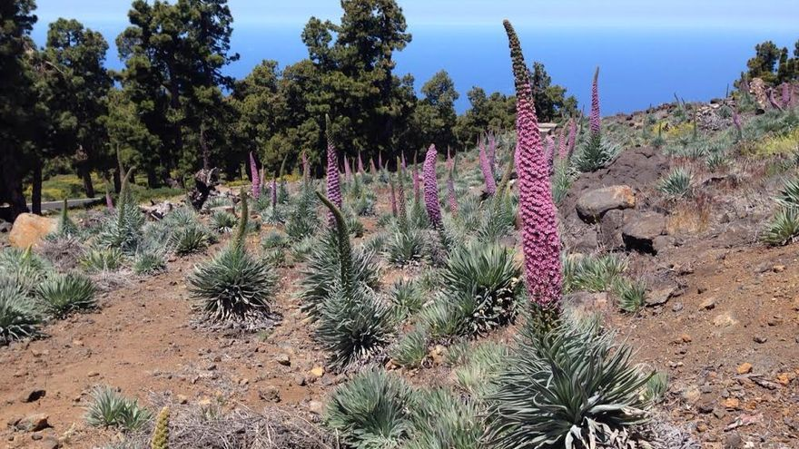 En la imagen, tajinastes rosados,  situados por debajo de la residencia del IAC, en el límite del pinar con el codesar. Foto: ÁNGEL PALOMARES.