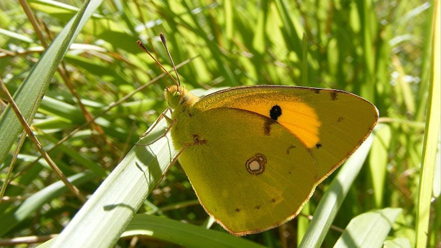 Una mariposa Colias Crocea.