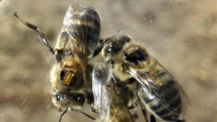 Las abejas se propagaron por Europa al ritmo de la agricultura del Neolítico