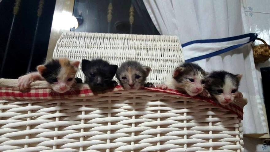 Una camada de gatitos rescatada por ANIMAEX, la Asociación Animales Maltratados Extremeños