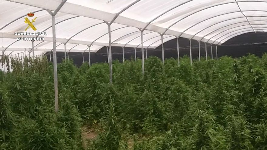 Intervenidas 20.000 plantas de marihuana, la mayor plantación de los últimos años en Andalucía