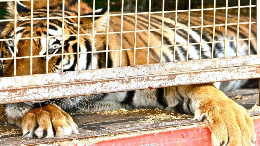 Aprobada una declaración institucional en el Ayuntamiento de Las Palmas de Gran Canaria contra los circos con animales.