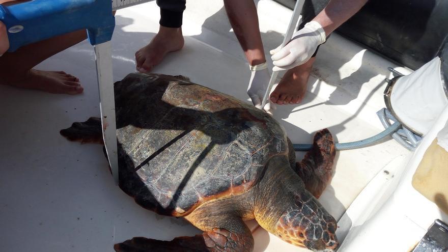 Investigadores colocan microchips a una veintena de tortugas para seguirlas por el océano.