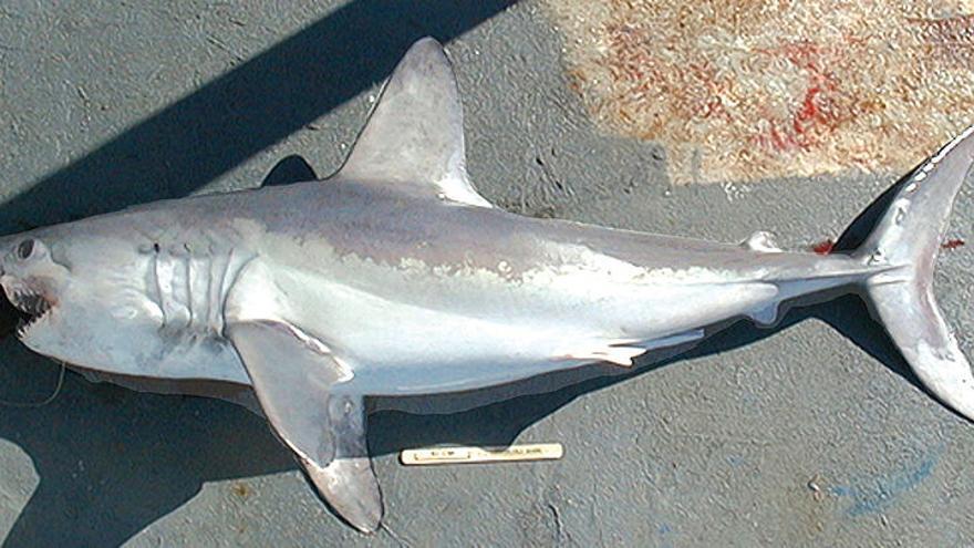 Un ejemplar de 'lamna nasus', 'marrajo sardinero' o tiburón 'cailón'