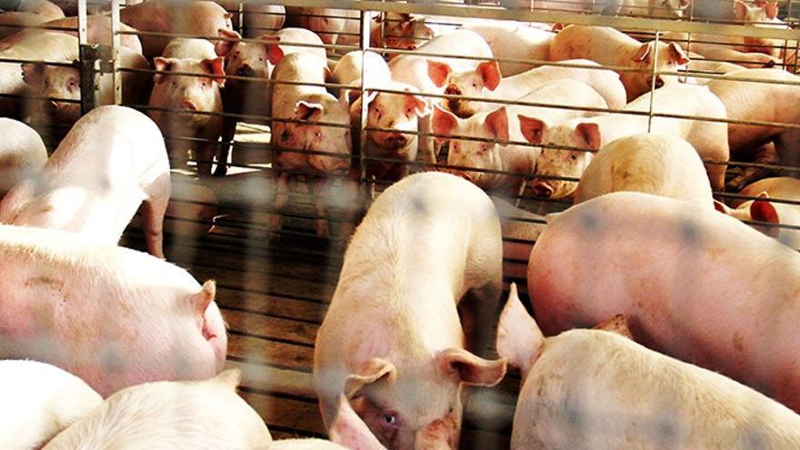 FOTO: web Asociación Regional de Ganaderos de Porcino de Castilla-La Mancha