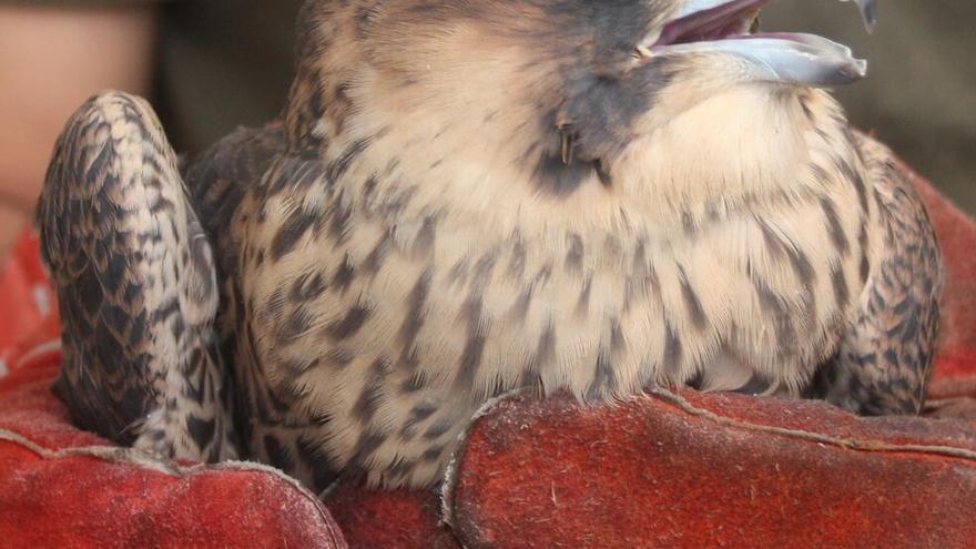 Un halcón peregrino tratado en un centro de recuperación de Madrid. / Grefa
