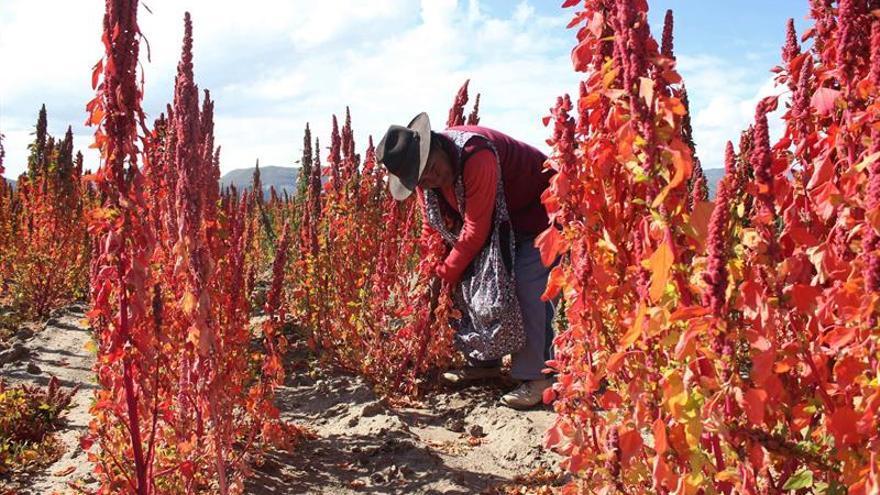 La quinua real de Bolivia busca su denominación de origen ante el mundo