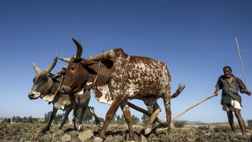 Abbadi arando la tierra en Killtte Awlaelo, zona rural de Wukro