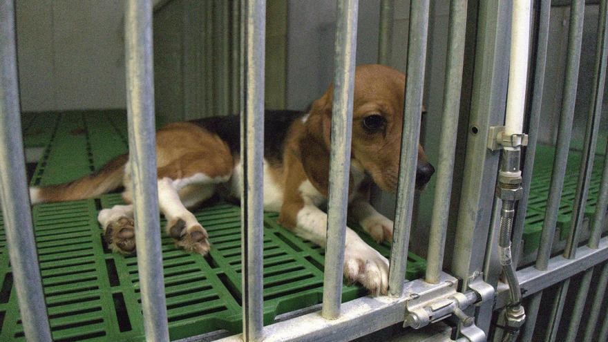 Beagle en el laboratorio Vivotecnia