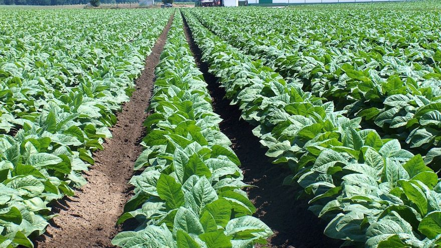 Plantación de tabaco en el norte de Extremadura / http://www.cetarsa.es