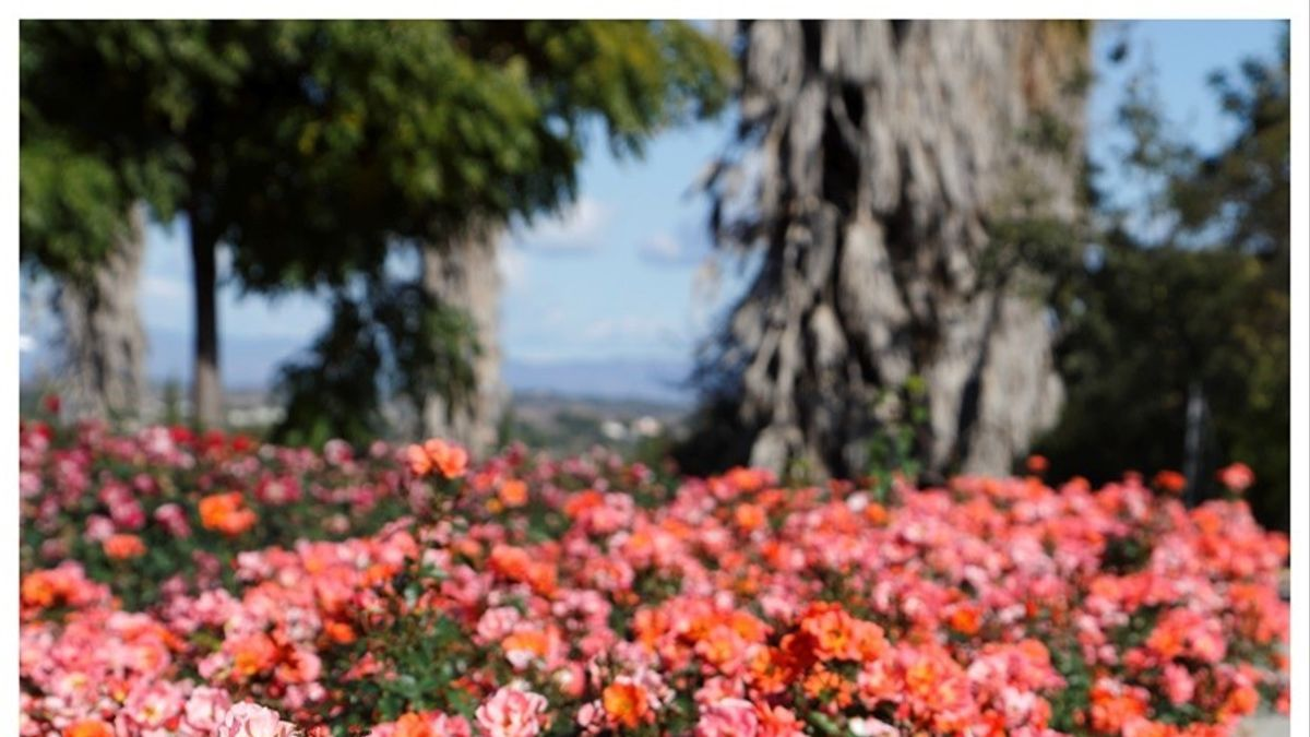 La rosa Setsuko Thurlow, creada por la investigadora Matilde Ferrer.