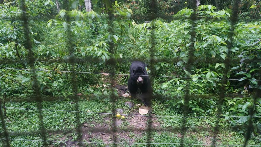 El oso de anteojos es una especie única de Sudamérica que, como otras muchas, está al borde de la desaparición