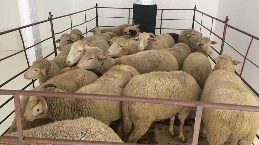 Imagen de las ovejas expuestas. Foto: Dani Cabezas