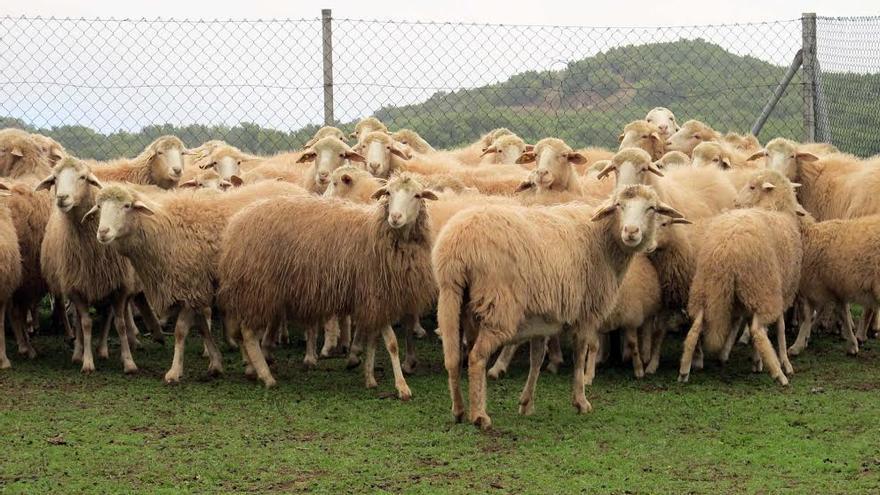 En la imagen, ovejas de raza palmera en la finca experimental de Garafía.