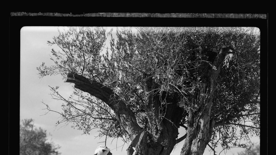 Poda de olivos en Palestina, foto tomada entre 1934 y 1939