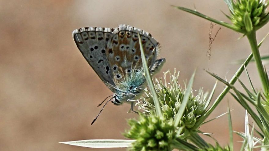 Mariposa Polyommatus (Lysandra) coridon