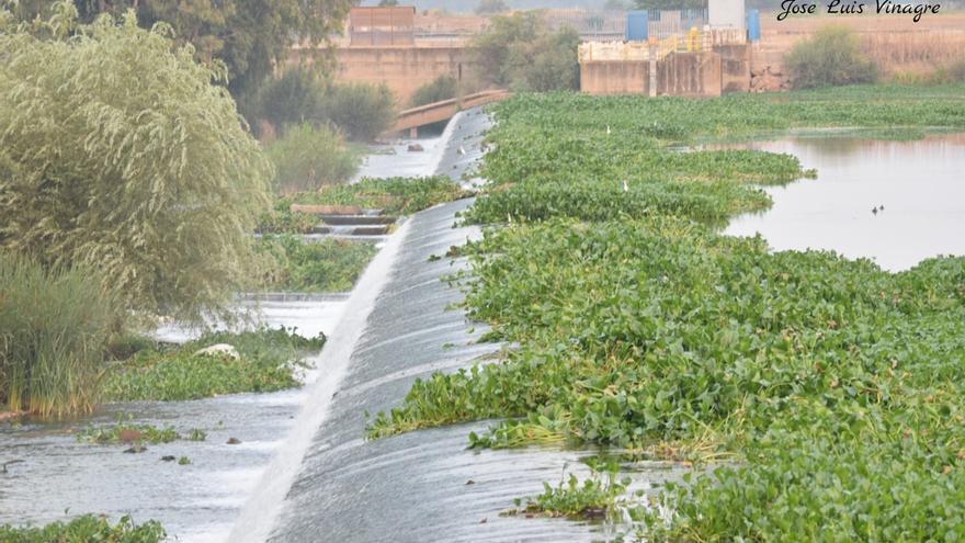 Camalote cubriendo aguas del Guadiana a su paso por Badadajoz
