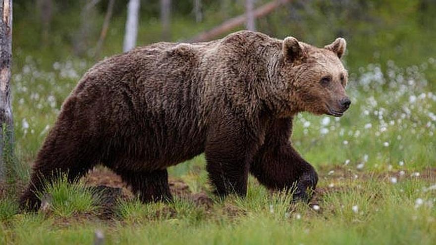 Imagen de un oso pardo.