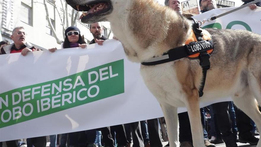 Unas 3.000 personas piden unificar las normativas en defensa del lobo ibérico