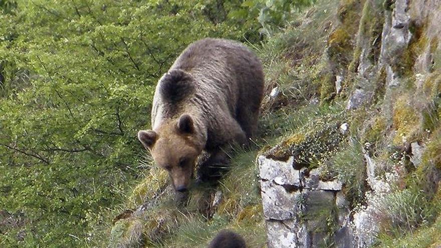 Cuatro comunidades ultiman primer protocolo con pautas de actuación oso pardo