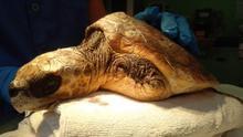 Tortuga atendida en el Centro de Recuperación de Fauna Silvestre de La Tahonilla, en Tenerife