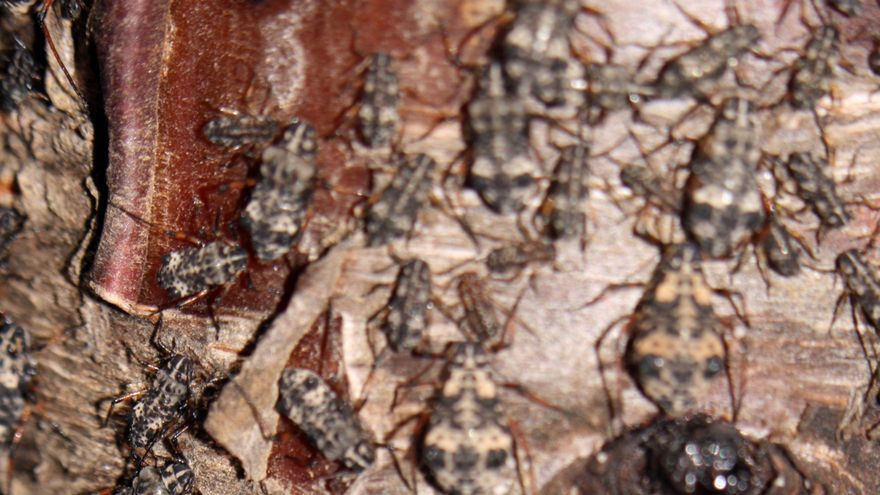 Ejemplares del 'pulgón de la madera' (Pterochloroides persicae).