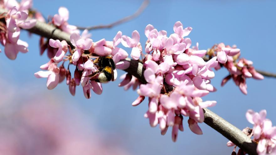 Las altas concentraciones de polen influyen en el aumento de las infecciones por covid