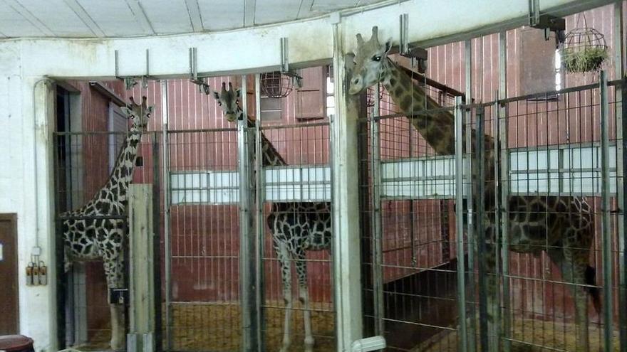 Jirafas encerradas en los sótanos del zoo de Barcelona. Foto: Libera!