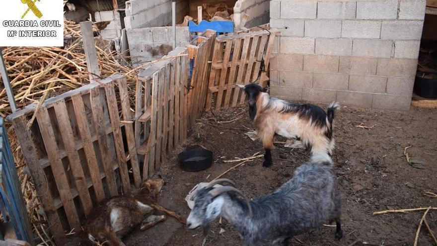 Los animales (en la imagen), según la Guardia Civil, se encontraban en condiciones deplorables  en unas instalaciones insalubres. Foto: GUARDIA CIVIL.