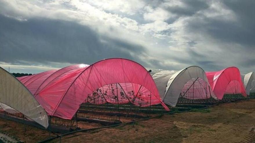 El uso de plásticos luminiscentes en cultivos de frutos rojos aumenta su productividad y precocidad