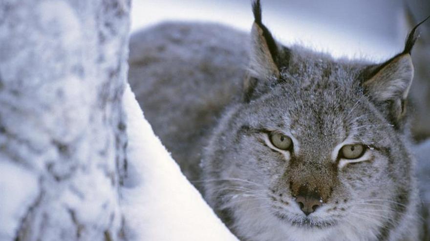 Rumanía deja de ser el coto de caza en Europa gracias a las presiones ecologistas