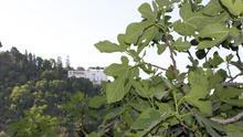 Higuera en el jardín de la Escuela de Estudios Árabes (CSIC) frente al Generalife