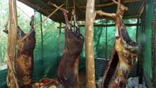 La medicina china amenaza a los burros de África