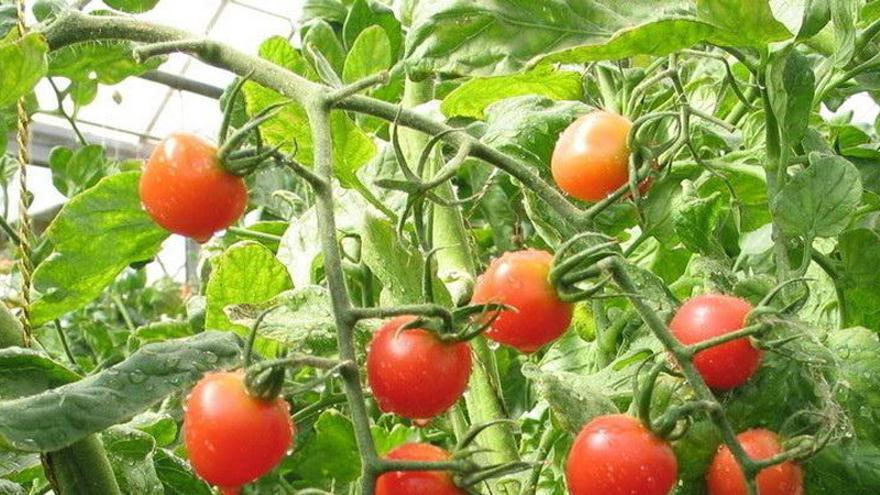 Planta de tomate en un cultivo canario