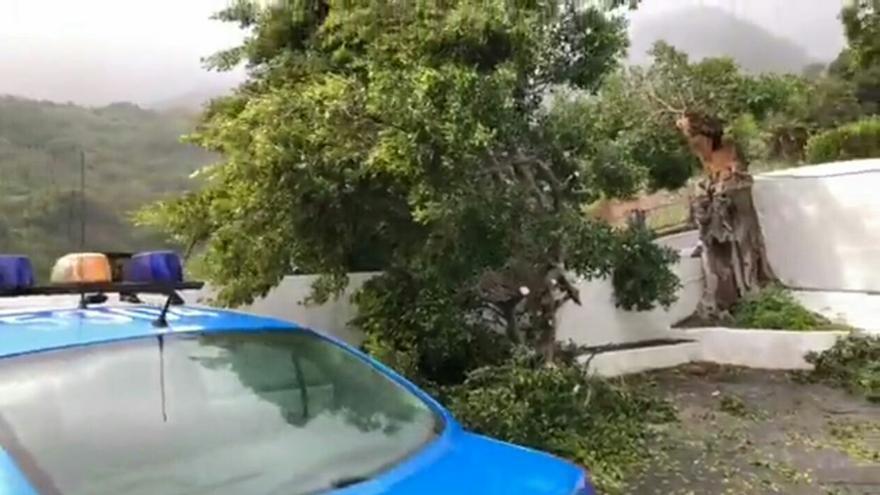 Imagen del árbol partido por la fuerza del viento este martes en el Santuario de Las Nieves de Santa Cruz de La Palma.