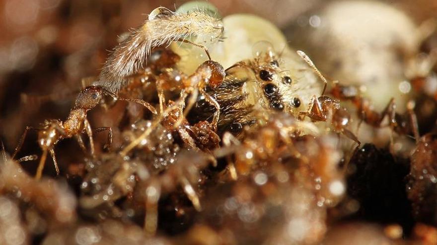 Las hormigas cultivaban plantas antes que los humanos, según un estudio