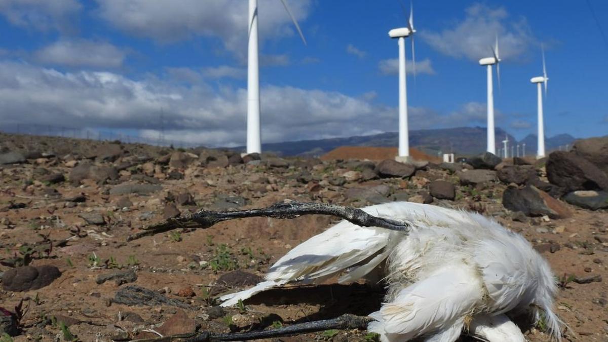 Imagen de un ave muerta tras impactar con las palas de un aerogenerador.
