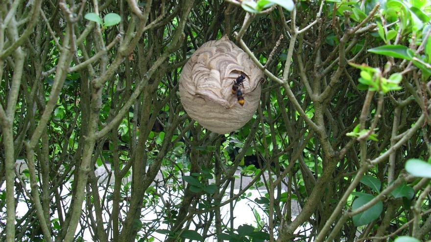 Retirados un total de 256 nidos de avispa asiática en San Sebastián durante 2014