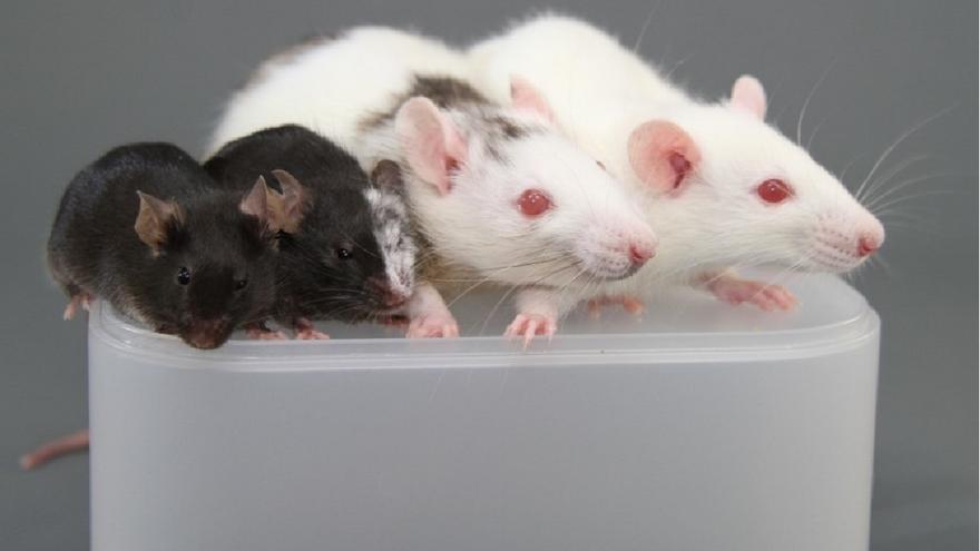 Quimeras de ratón y rata desarrolladas por investigadores japoneses
