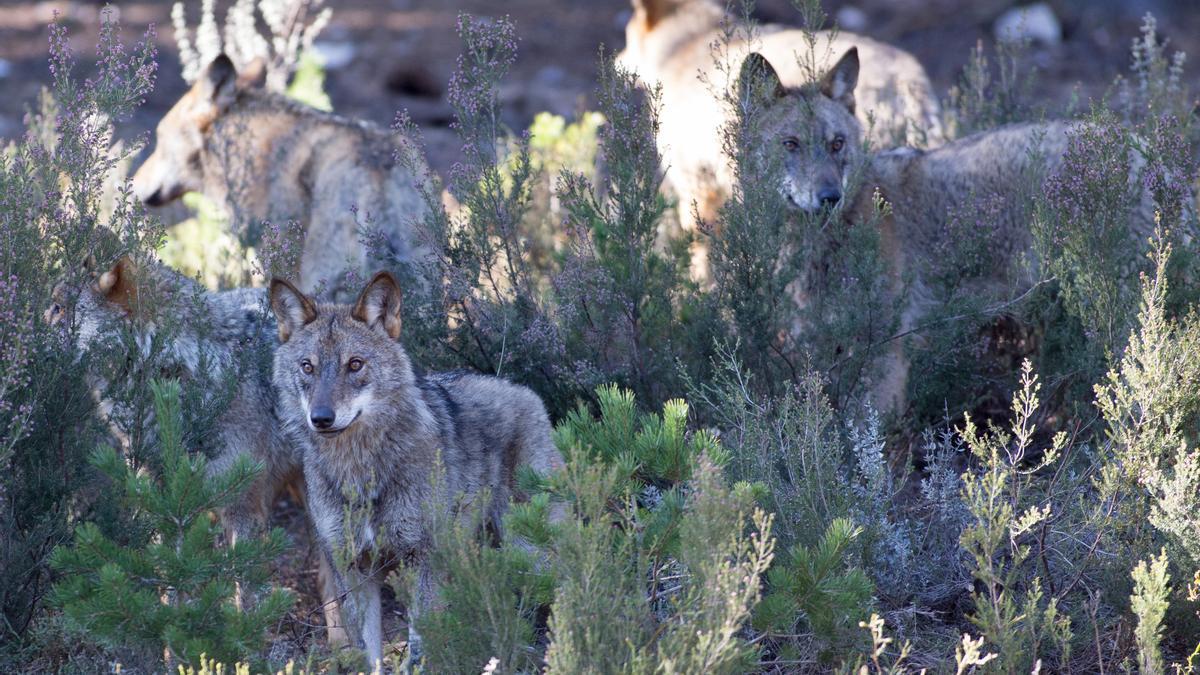 Varios lobos ibéricos del Centro del Lobo Ibérico en localidad de Robledo de Sanabria. Archivo