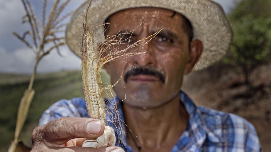 Hugo Jolón muestra el pobre desarrollo de su maíz debido a la falta de lluvia en el corredor seco de Guatemala. Foto: PMA/Francisco Fión