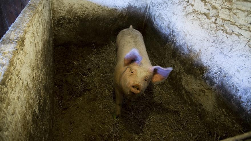 Cerdo víctima de la matanza de Palencia. Foto: Tras los Muros